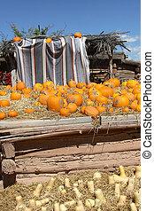 Drying Pumpkins and Butternut Squash (Cucurbita moshata)