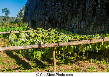 Drying tobacco in Vinales valley, Cub