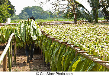 Drying tobacco leaves.