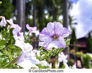 drzewa., petunia, dłoń, kwiat
