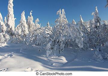 drzewa, pokryty, z, śnieg, w, słoneczny, pogoda
