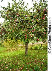 drzewa, sad jabłka