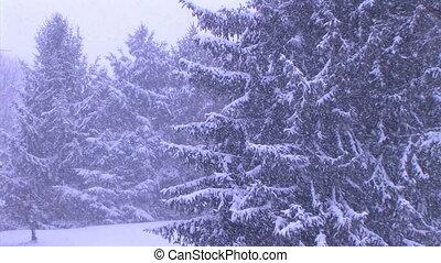 drzewa sosny, w, śnieżyca