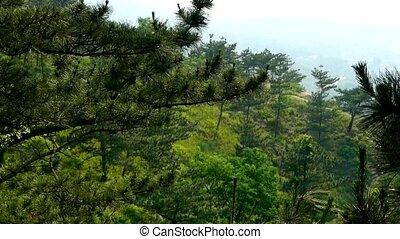 drzewa sosny, w wietrze, huśtać się, drzewo, zielska, &, grass.