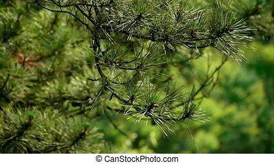 drzewa sosny, w wietrze