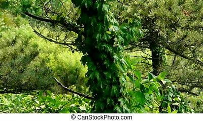 drzewa sosny, &, winorośle,