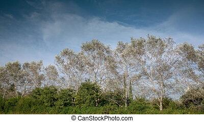 drzewa, topola, wietrzny, długość mierzona w stopach, niebo...