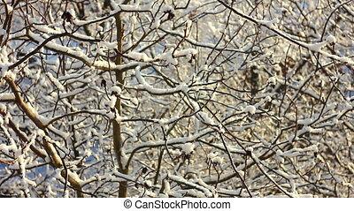 drzewa, w, śnieg