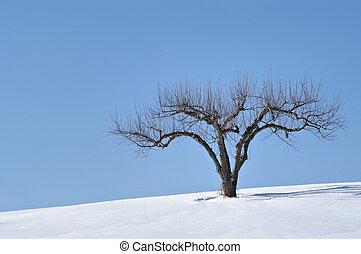 drzewo jabłka, w, zima