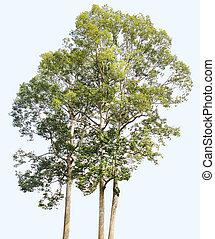 drzewo, odizolowany, wysoki, tło, biały, rozkład