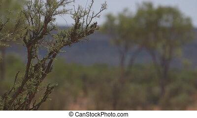 drzewo, outback, australia, pustynia, krajowiec
