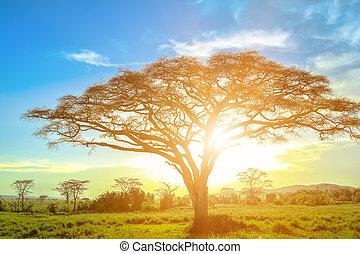 drzewo, serengeti, akacja, wschód słońca