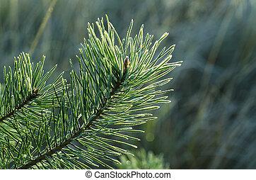drzewo, sosna, mrożony