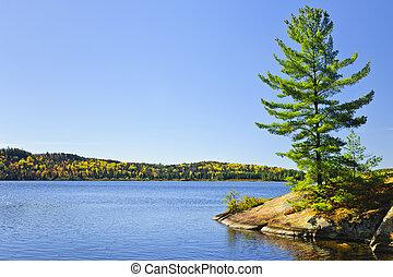 drzewo sosny, na, jeziorowy brzeg