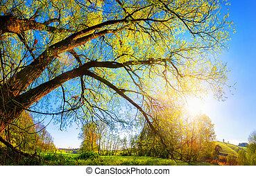 drzewo, wiejski, stary, krajobraz, rano