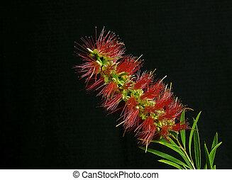 DSC 3469- bottle brush flower
