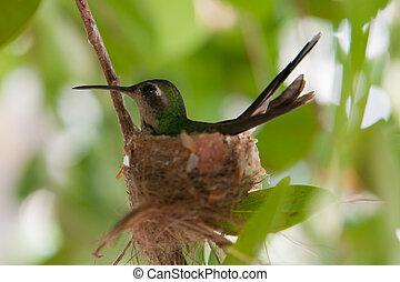 DSC_1115(2).jpg - A tiny hummingbird on nest at central...