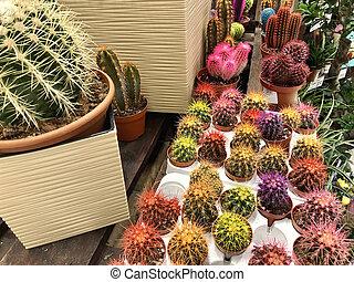 dużo, różny, mały, wielobarwny, cacti, w, garnczki kwiatu, jak, domowy, rośliny