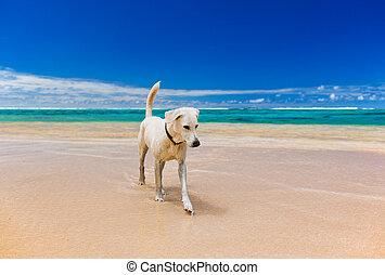 duży pies, tropikalny, zdumiewający, biała plaża