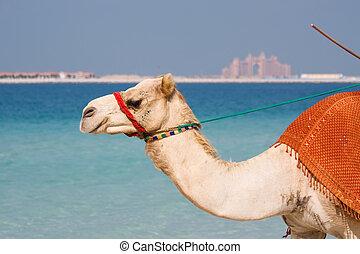 dubai, kamel, sandstrand, jumeirah