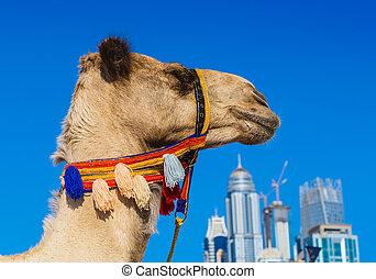 Camel on Jumeirah Beach in Duba - DUBAI, UAE - NOVEMBER 11:...