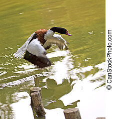 A duck with black head landing over a lake