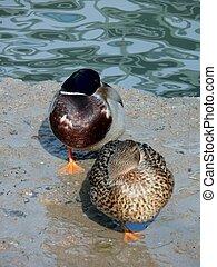 Duck. A pond.