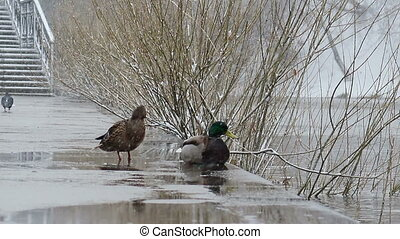 Duck and drake on the waterfront in bad weather. Ekaterinburg. Russia