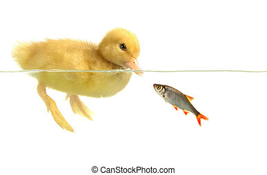 duck and fish on white background