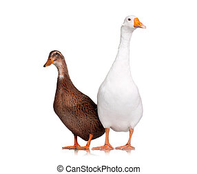 Duck and goose - White domestic goose and duck isolated on ...