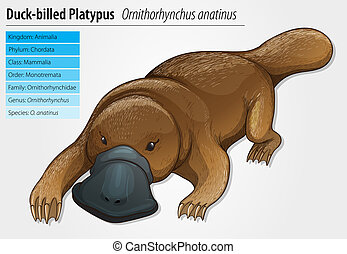 Duck-billed platypus - Duck-bill platypus - Ornithorhynchus...