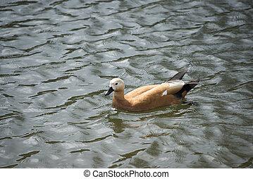 Duck bird