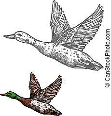 Duck bird sketch of wild or farm waterfowl animal