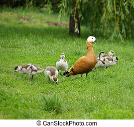 Duck family on nature
