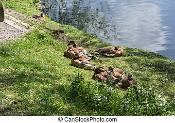 Duck family on the banks