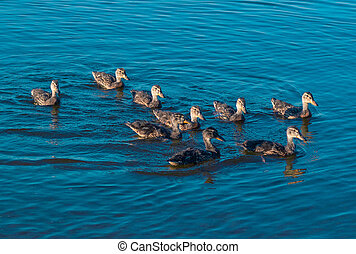 Duck family swims on lake