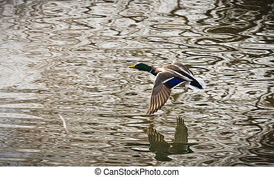 A duck flies with its wingtips just millimetres above the water.