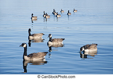 Duck Formation - Ducks swiming in formation in the clear...