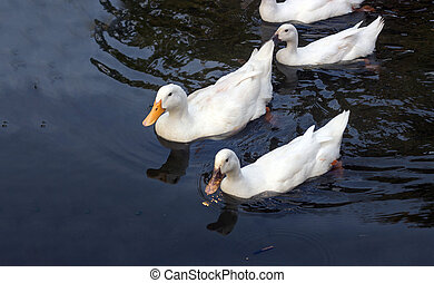 Duck goose swimming on water