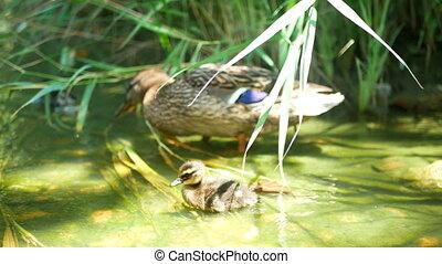 Duck grass food water - Male mallard duck scavenging through...