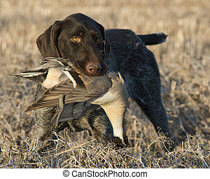 Duck Hunting - A Hunting dog with a duck