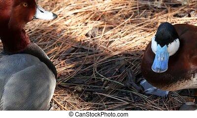 Duck in natural habitat. Waterflow bird in wild nature. Waterbird in wilderness.