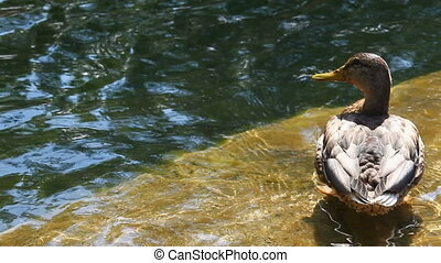 Duck in pond - Beautiful duck in the water outdoor