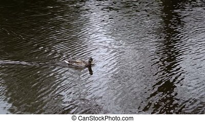 Duck in pond at cloudy day