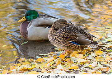 duck in the autumn