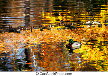 Duck in the pond