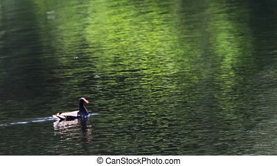 Duck in the river.