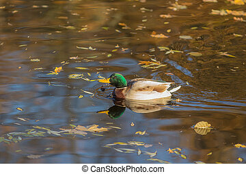 duck in the water