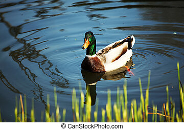 duck in zoo macro close up