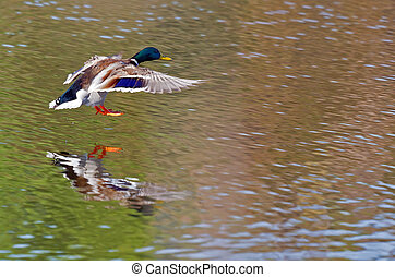 duck landing - Duck landing on a natural pond, with...